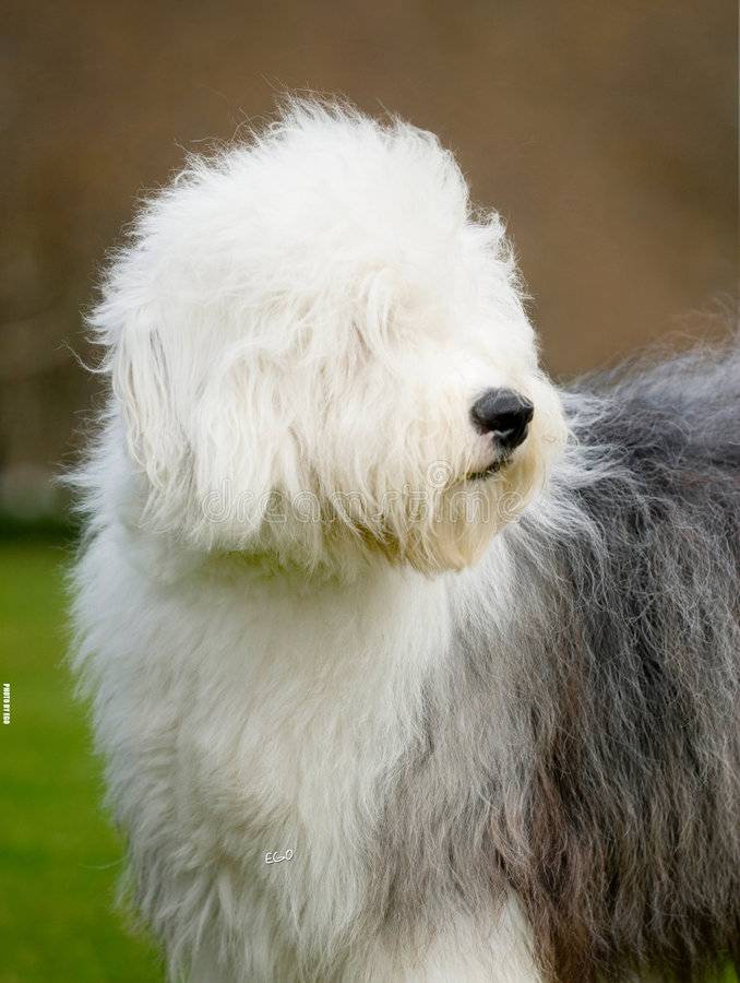 Download Dog Old English Sheepdog stock image. Image of animal - 7557403