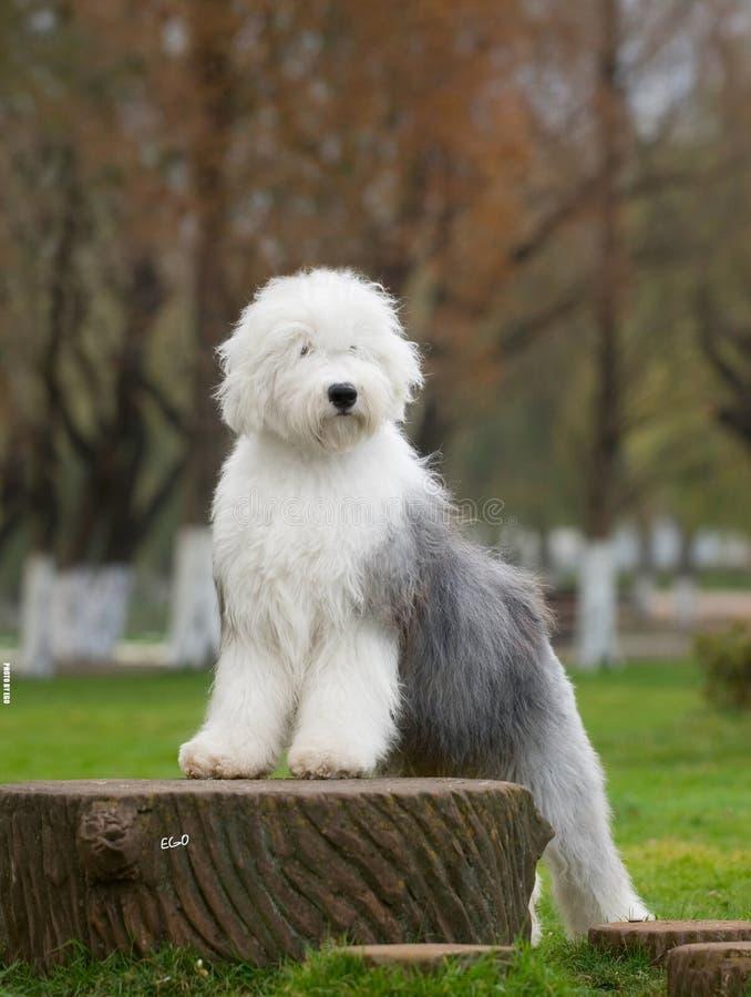 Download Dog Old English Sheepdog stock image. Image of back, autumn - 7558187