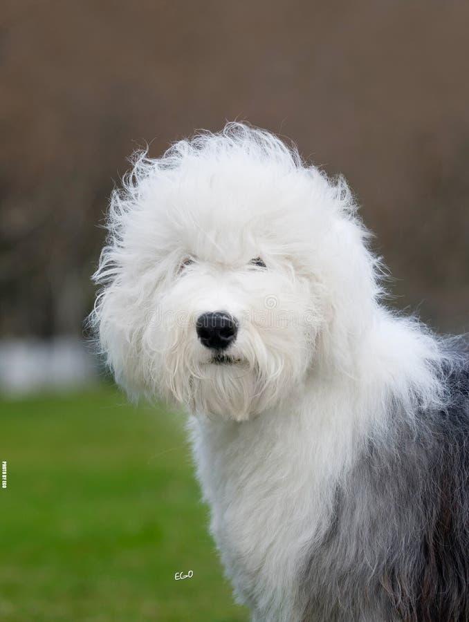 Download Dog Old English Sheepdog stock photo. Image of canine - 7558500