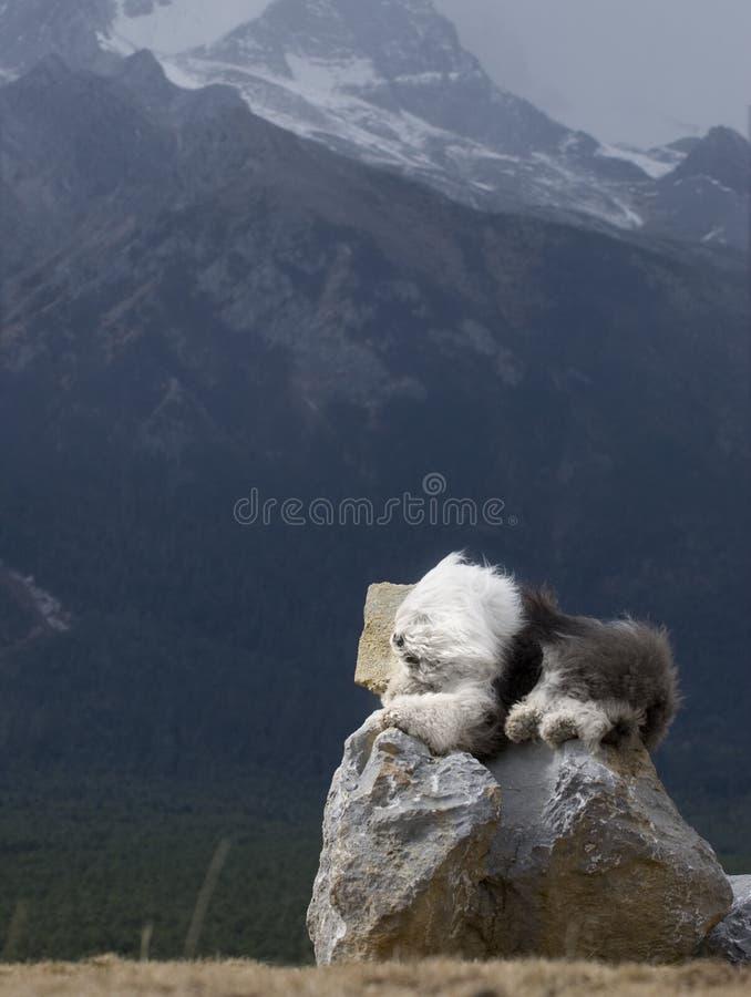 Dog Old English Sheepdog royalty free stock image