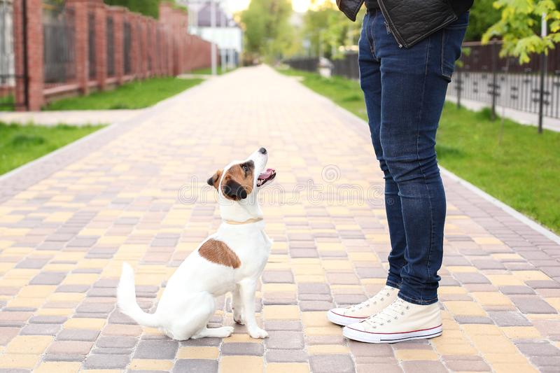 Dog and owner Jack Russell Terrier in anticipation of a walk in the park, on the street, patient and obedient. Education and train stock photos
