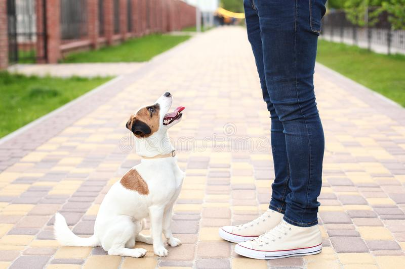 Dog and owner Jack Russell Terrier in anticipation of a walk in the park, on the street, patient and obedient. Education and train stock photography