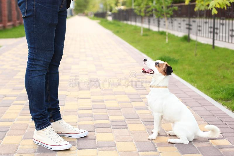 Dog and owner Jack Russell Terrier in anticipation of a walk in the park, on the street, patient and obedient. Education and train royalty free stock images