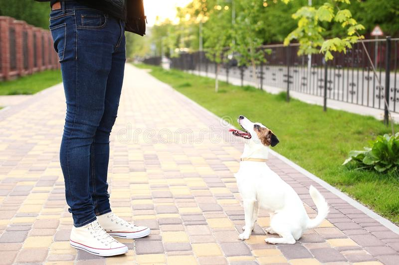 Dog and owner Jack Russell Terrier in anticipation of a walk in the park, on the street, patient and obedient. Education and train stock photo