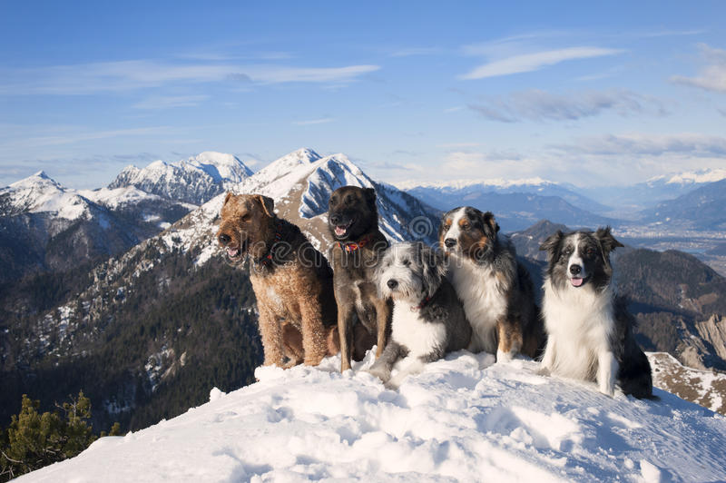 Dog pack: airedalle terrier, australian shepherd, belgian malinois,bearded collie,border collie sitting on the top of the mountain stock photography