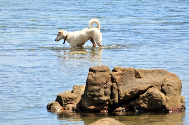 Dog Paddling In Sea Royalty Free Stock Photography