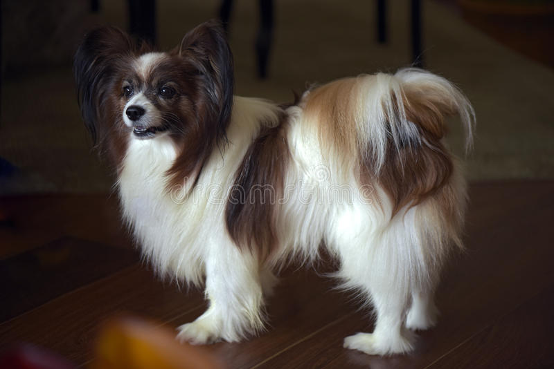 Dog of the papillon breed exhibiting all its aristocratic bearin. Papillon or continental toy spaniel is a very intelligent and self-assured dog developed in stock photos