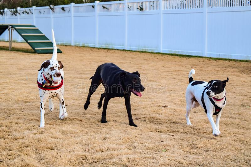 Dog Park Friends and Fun. Three dog friends just romping around the dog park on a lazy winter afternoon royalty free stock image