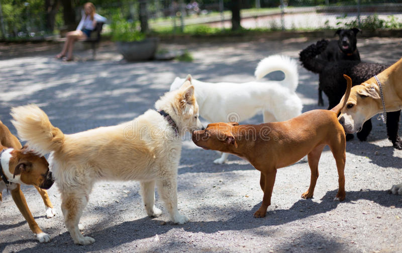 Dog Park Greetings. A line of friendly dogs at a dog park greeting each other with the traditional sniffing of the behind stock images