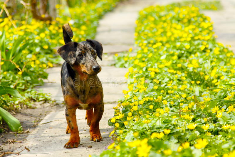 Dog In Path Of Flowers Royalty Free Stock Photography