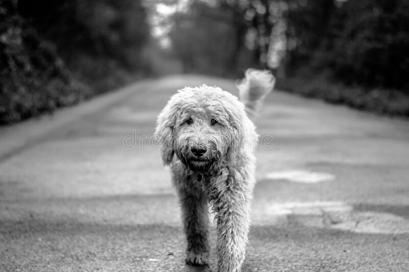 Dog on path royalty free stock image