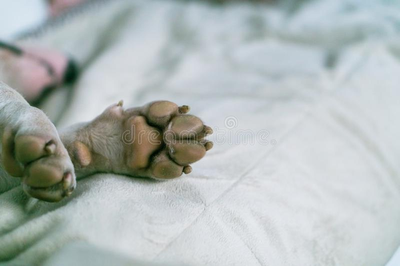 Dog paw close-up. White bull terrier`s paw on carpet. Macro of white dog paw. royalty free stock photography
