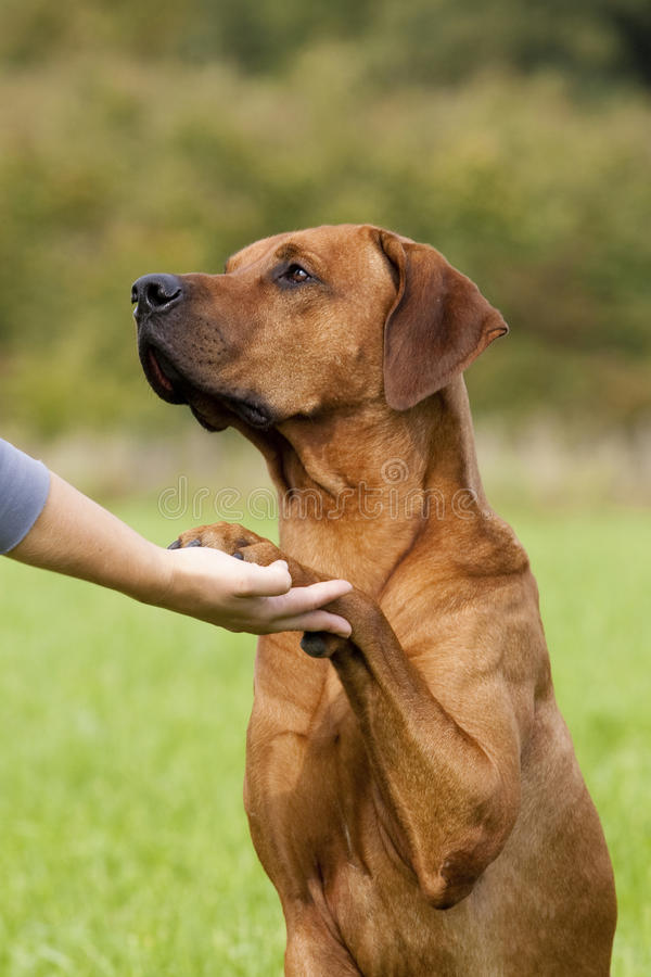 Dog paw and human hand shaking royalty free stock images