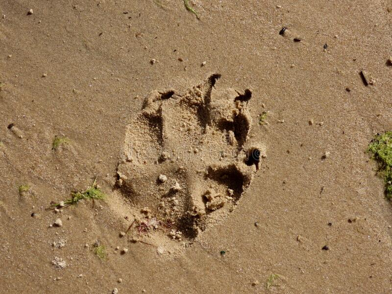 Dog paw print. In wet beach sand from medium size fit dog, close up stock image