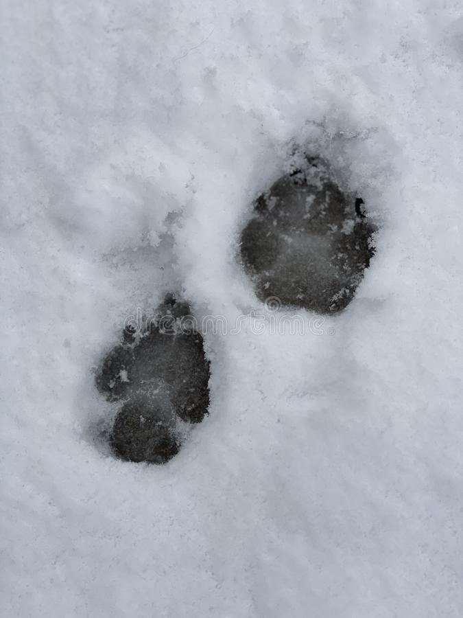 Canine paw prints in the snow stock image