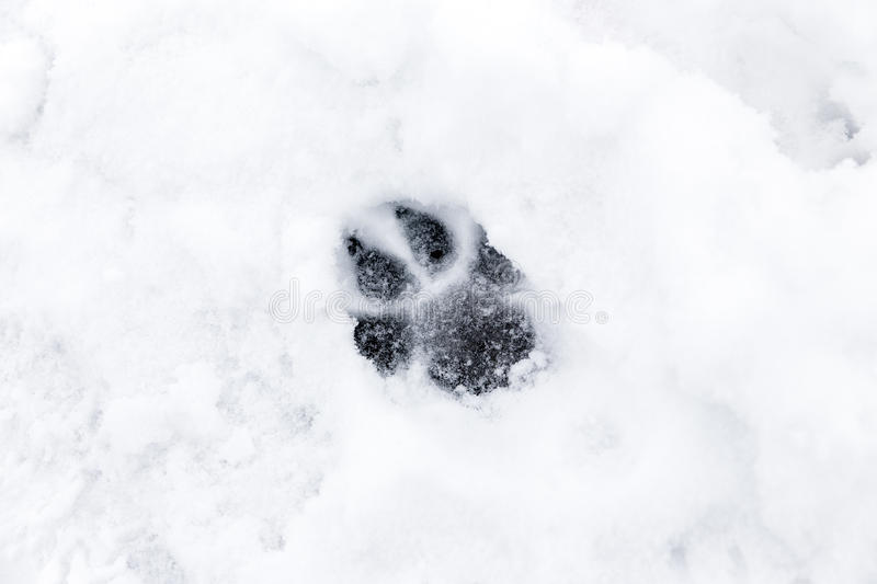Dog paw in the Snow. A footprint from a dog in the snow stock images