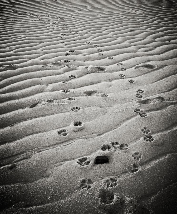 Free Dog Pawprints In Sand On Provincetown Beach Stock Photo - 41798520