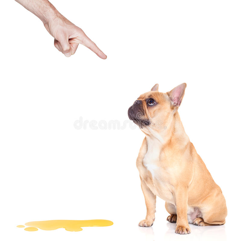 Dog pee. Bulldog dog being punished for urinate or pee at home by his owner, isolated on white background royalty free stock photos