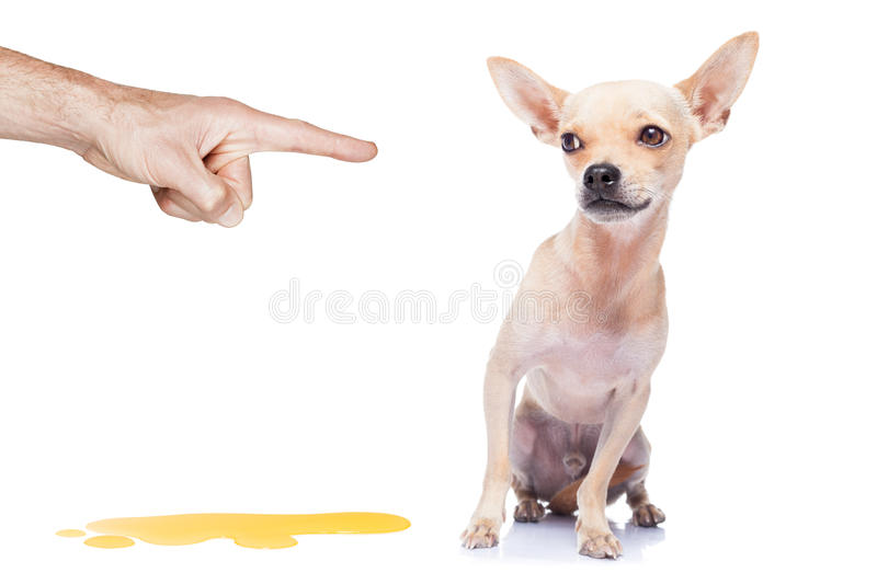 Dog pee. Chihuahua dog being punished for urinate or pee at home by his owner, isolated on white background royalty free stock image