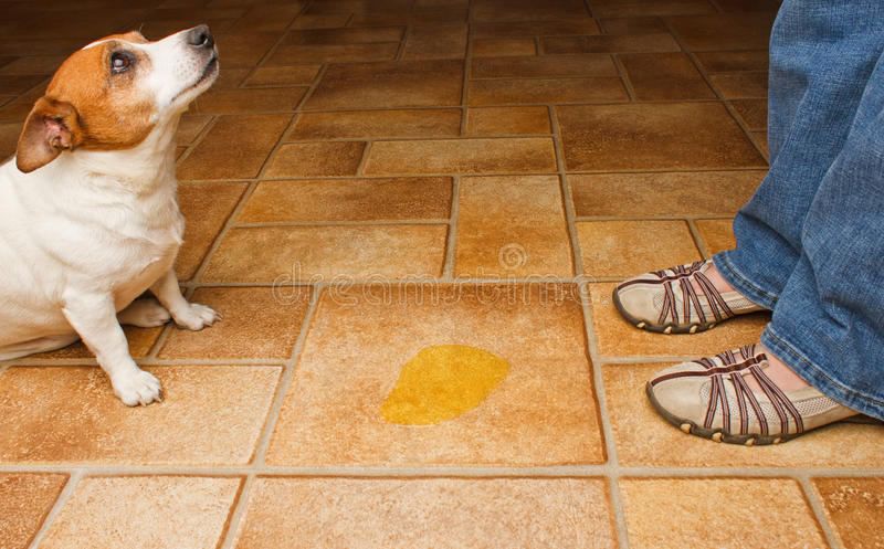 Download Dog pee discover stock photo. Image of regret, shoes - 19634248