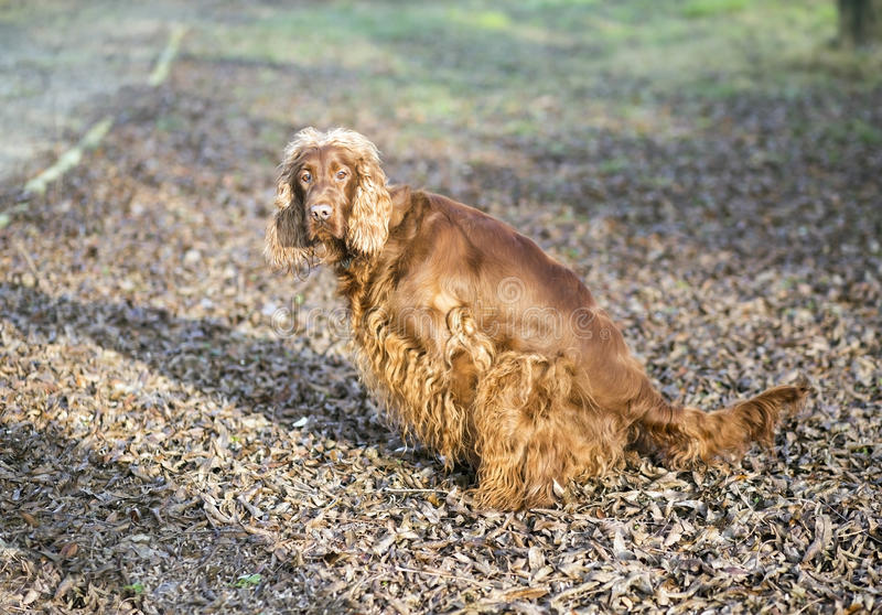 Dog pee. Female dog doing her pee toilet in the park stock photography