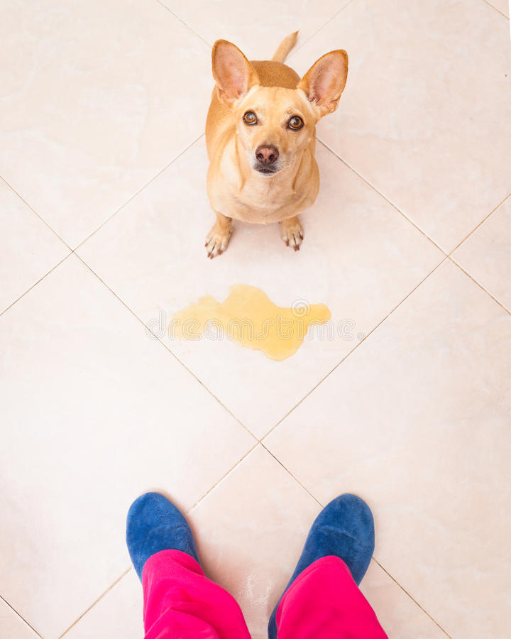Dog pee owner at home. Chihuahua dog being punished for urinate or pee at home by his owner, isolated on the floor stock images