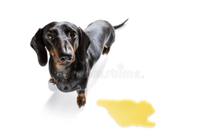 Dog pee owner at home. Dachshund  sausage dog being punished for urinate or pee  at home by his owner, isolated on white background royalty free stock photography