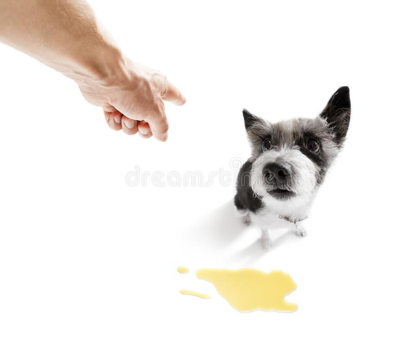 Dog pee owner at home. Poodle dog being punished for urinate or pee at home by his owner, isolated on white background stock image