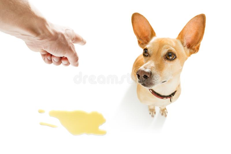 Dog pee urine on the floor. Chihuahua podenco dog being punished for urinate or pee at home by his owner, isolated on white background stock photography