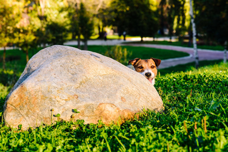Dog peeking over corner playing hide and seek game at park stock images