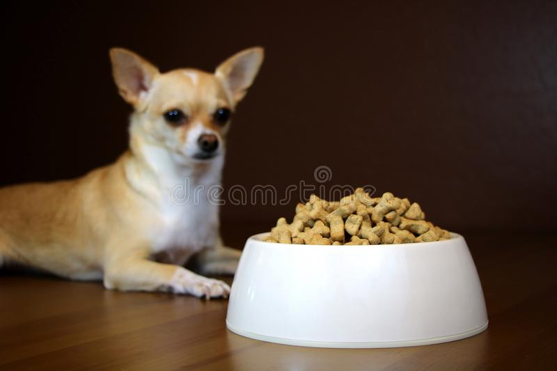 Dog Perspective of a Food Bowl. Obedient dog is looking at the full bowl of food royalty free stock photos