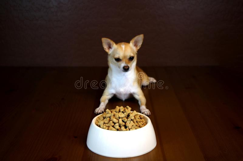 Dog Perspective of a Food Bowl. Obedient dog is looking at the full bowl of food royalty free stock image