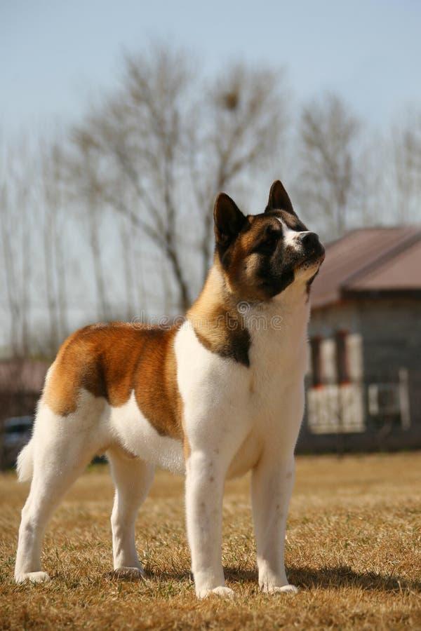 Download Dog pet Akita stock image. Image of foot, face, labrador - 10107717