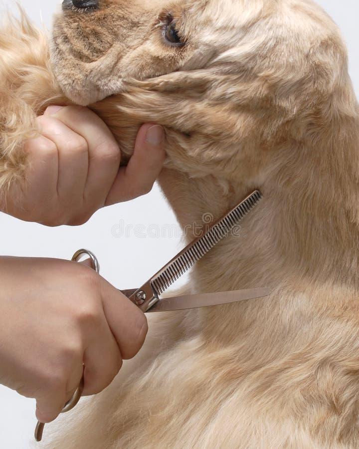Download Dog Pet American Cooker Spaniel Stock Image - Image: 7675369
