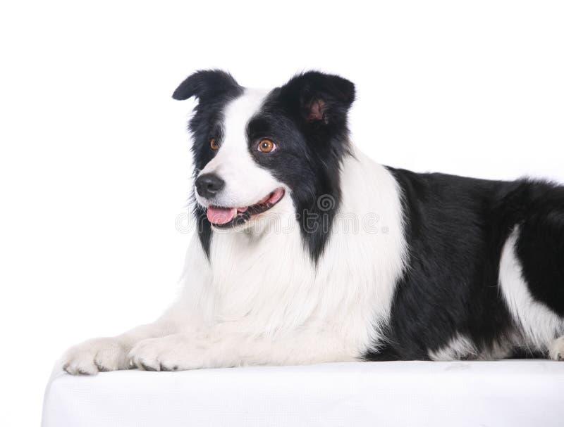 Dog pet Border Collie royalty free stock image