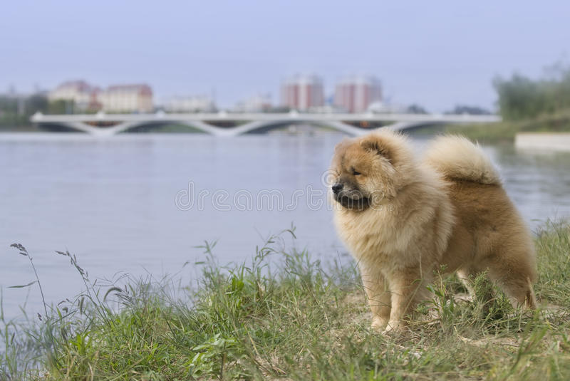 Download Dog pet chow chow stock image. Image of american, over - 10121033