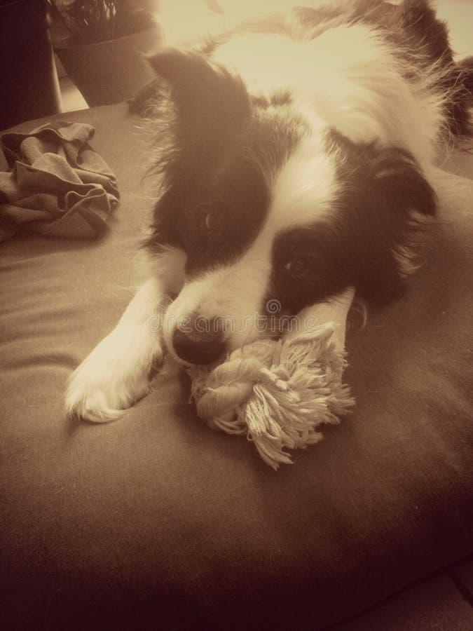 Dog, pet, sepia, border royalty free stock image