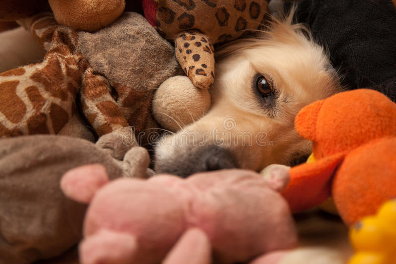 Dog between pet toys. Golden retriever completely covered by pet toys royalty free stock photos