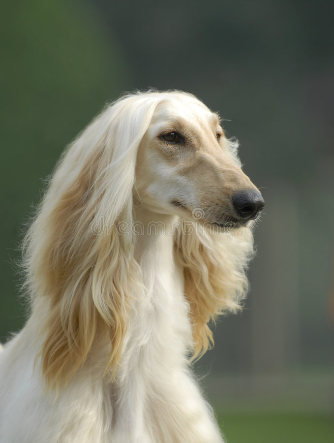 Free Dog Pets Afghan Hound Royalty Free Stock Photography - 7684997