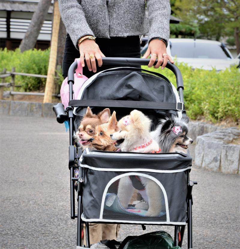 Dog pets travel in baby carriage in japan royalty free stock photography