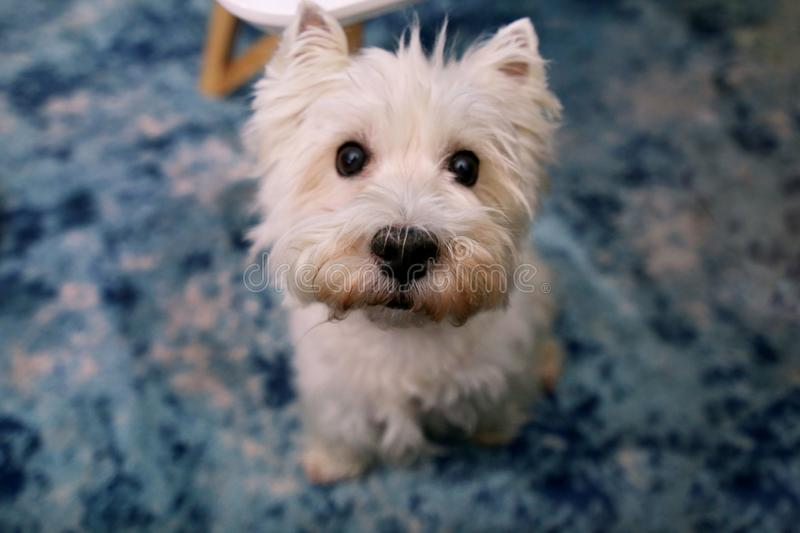 Dog photo shoot at home. Pet portrait of West Highland White Terrier dog enjoying and resting on floor and blue carpet at house. royalty free stock photo