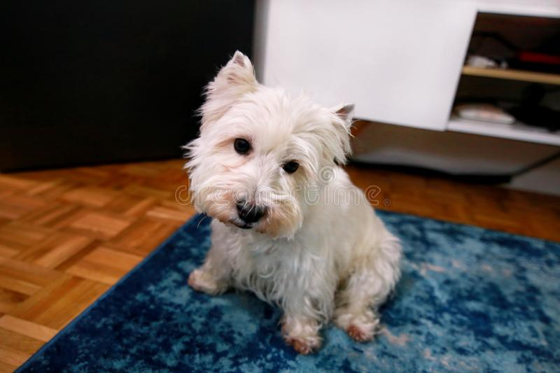 Dog photo shoot at home. Pet portrait of West Highland White Terrier dog enjoying and resting on floor and blue carpet at house. stock photography