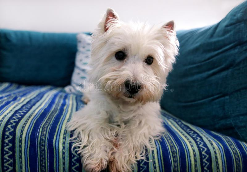 Dog photo shoot at home. Pet portrait of West Highland White Terrier dog lying and sitting on bed and blue blanket couch at house. stock photo