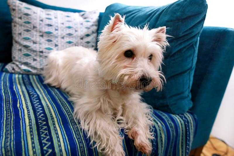 Dog photo shoot at home. Pet portrait of West Highland White Terrier dog lying and sitting on bed and blue blanket couch at house. stock image
