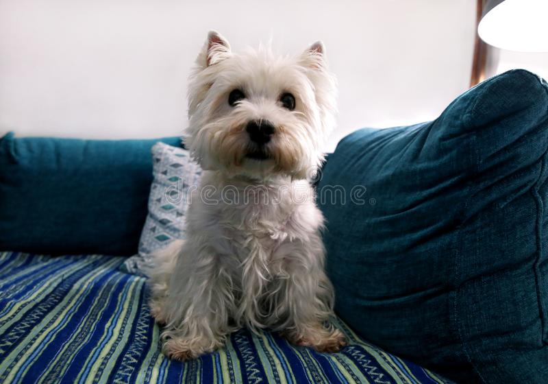 Dog photo shoot at home. Pet portrait of West Highland White Terrier dog lying and sitting on bed and blue blanket couch at house. Colin Westie Terrier very royalty free stock photography
