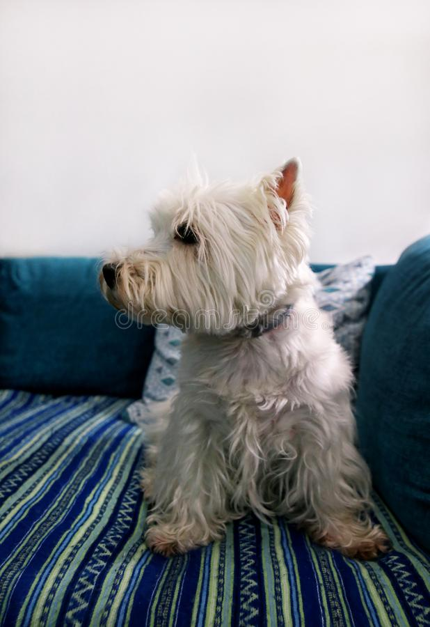 Dog photo shoot at home. Pet portrait of West Highland White Terrier dog lying and sitting on bed and blue blanket couch at house. stock photography