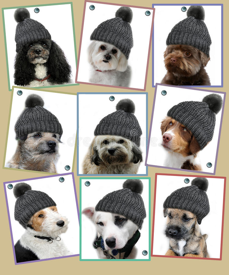 Dog photos on pin board. Photos of nine dogs with bobble hats pinned on a pin board stock image