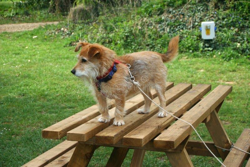 Dog stood on picnic table royalty free stock photos