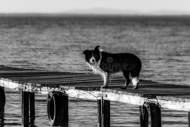 A dog on a pier over a a lake.  stock photos