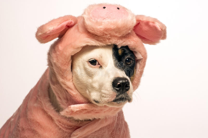 Dog in a pig halloween costume. Head shot of a white dog with a black eye is wearing a pink pig costume for halloween, photo shot on a white background royalty free stock images